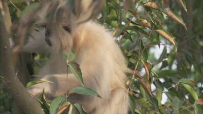 Golden Langur Sitting On A Tree
