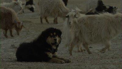 Pashmina Goats Grazing,Guard Dog Yawns