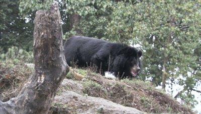 Asiatic Black Bear Walks in Zoo Forest