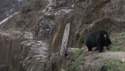 Asiatic Black Bear Walks Along rocky Path At Zoo