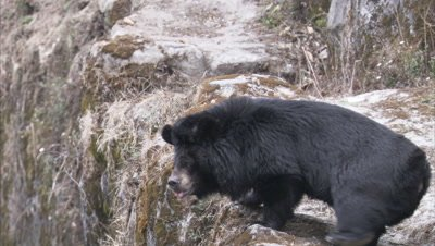 Asiatic Black Bear on rocky Ledge at Zoo