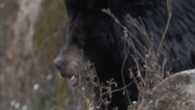 Asiatic Black Bear Paces on Rocky ledge at Zoo