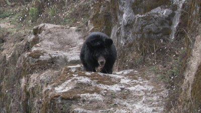 Asiatic Black Bear Walks on Rocky ledge at Zoo,Stands up