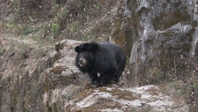 Asiatic Black Bear Stands on Rocky ledge at Zoo,Sniffs Air