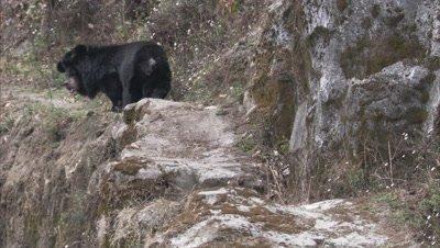 Asiatic Black Bear Walks on Rocky ledge at Zoo
