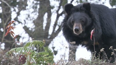 Looking up at Asiatic Black Bear Walking on Rocky ledge at Zoo