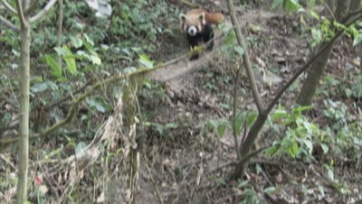 Red Panda Walks in Zoo Forest