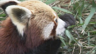 Red Panda Feeds,Browses in Forest Zoo