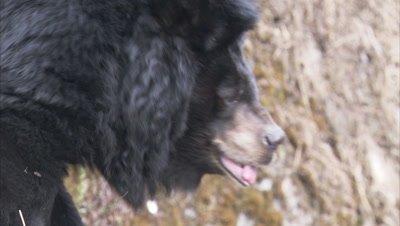 Asiatic Black Bear Walking on Rocky ledge at Zoo