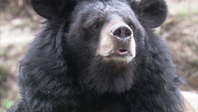 Asiatic Black Bear Chewing