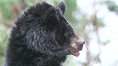 Asiatic Black Bear Sniffing Air In The Forest Of A Zoo