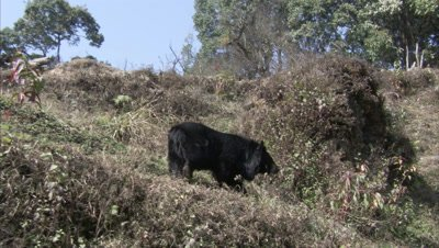 Asiatic Black Bear Walks in forest at Zoo