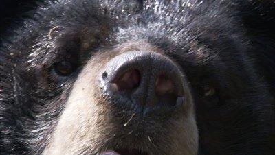 Asiatic Black Bear Close Up