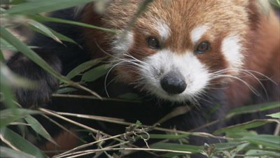 Red Panda Browses in Zoo Forest