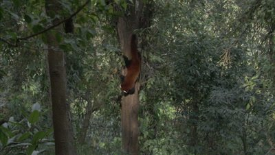 Red Panda Precariously Climbs Down Tree,Forest in Zoo