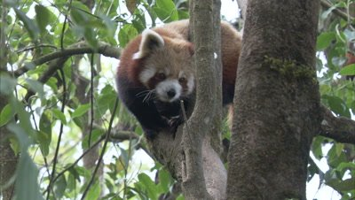 Red Panda Rests in Tree in Zoo Forest