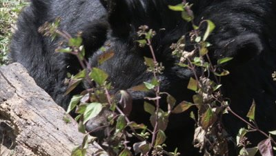 Asiatic Black Bear Browses in Forest,Tears into Log to Look for Food