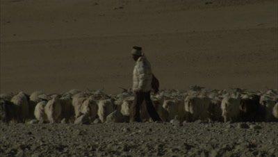 Herd Of Pashmina Goats With Shepherd