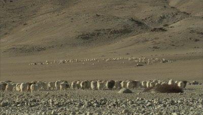 Wide View,Shepherd Walking With Pashmina Goats in Mountainous Landscape