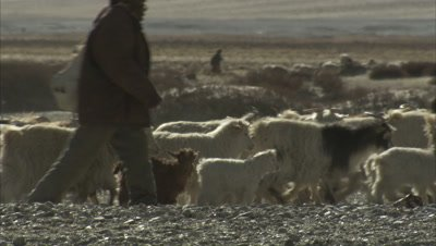 Herds Of Pashmina Goats With Shepherds