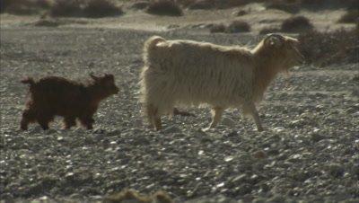 Pashmina Goat Walking With Baby