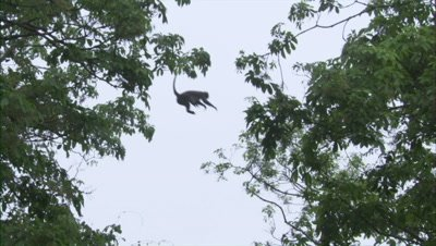 Spectacled Monkey Leaps from Tree to Tree