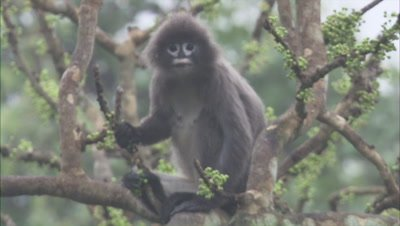Spectacled Monkey REsts in Tree