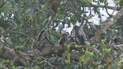 Spectacled Monkeys Play in tree