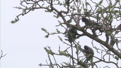 Spectacled Monkeys rest and climb in tree