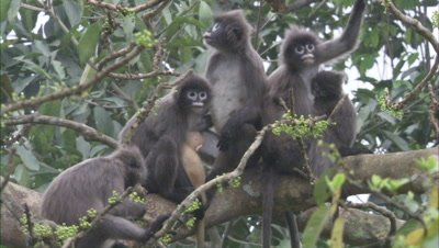Group Of Spectacled Monkeys,including baby,Sit in tree