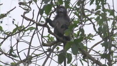 Spectacled Monkey Eating Fruits From Branch Of A Tree