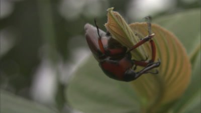 Black and Red Beetle or weevil-like insect on end of leaf