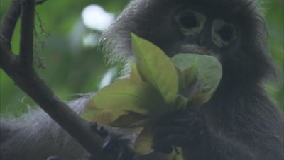 Spectacled Monkey Eating Leaves