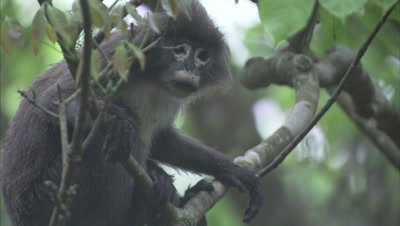 Spectacled Monkey Eating Leaves And Climbing On Tree