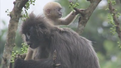 Female Spectacled Monkey Feeding In Tree While Baby Climbs on her back