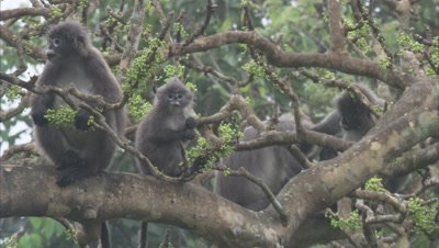 Spectacled Monkeys Eating Fruits From A Tree