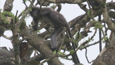 Young Spectacled Monkeys Play Fighting In Tree