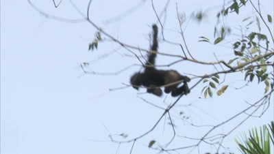 Spectacled Monkeys Playing in Forest,Swing Tree To Tree