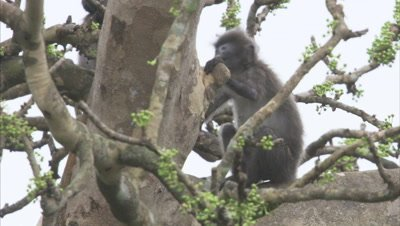 Young Spectacled Monkeys Play Fighting In Forest