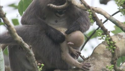 Female Spectacled Monkey Grooms Baby in tree,runs Away