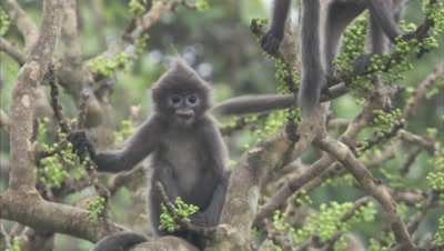 Young Spectacled Monkeys In A Tree