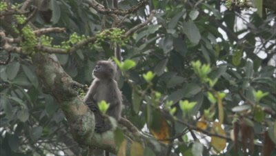 Young Spectacled Monkeys Climbing in A Tree