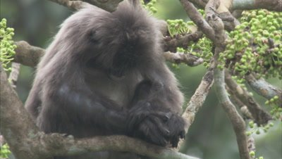Spectacled Monkey Sleeps in A Tree