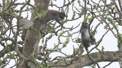 Spectacled Monkeys Climb in A Tree