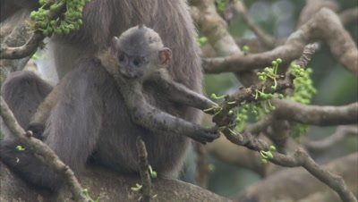 Baby Spectacled Monkey Eating Fruits From A Tree,Mother takes it away