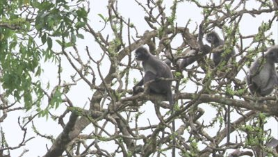 Spectacled Monkeys Climbing,running through Trees