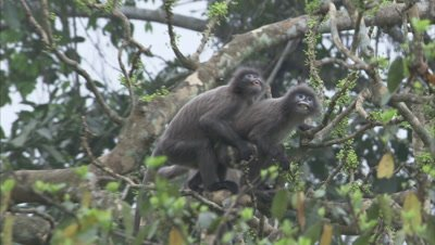 Spectacled Monkeys Feed,Interact in forest