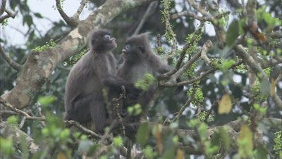 Spectacled Monkeys Grooming