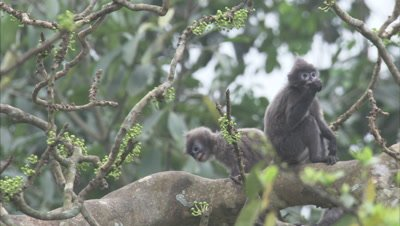 Young Spectacled Monkeys Play Fighting In A Tree
