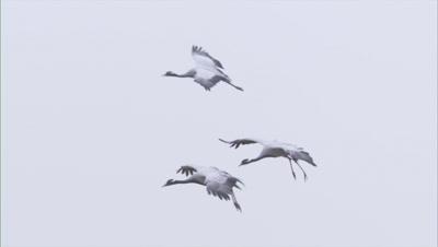 Demoiselle Cranes Landing to join huge flock In Kichan Village,Rajasthan